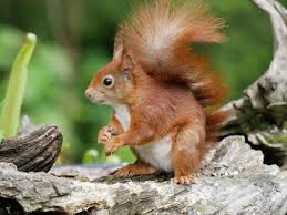 Return of the Red Squirrel